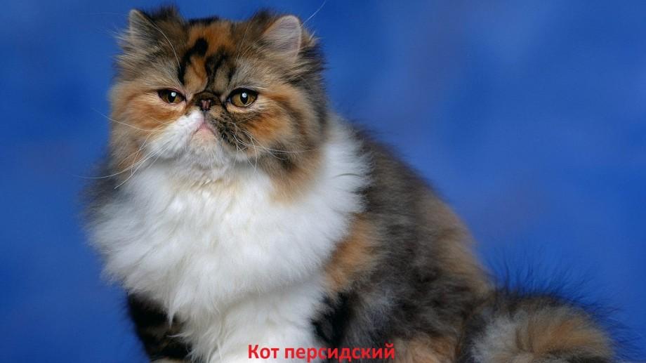 Кошки породы лечебные свойства