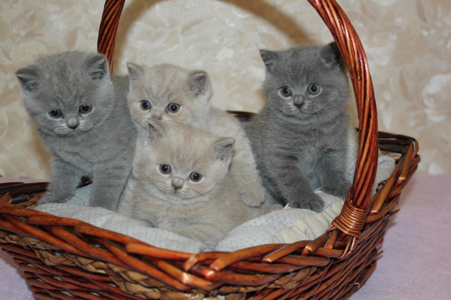 Кошки породы лечебные свойства thumbnail
