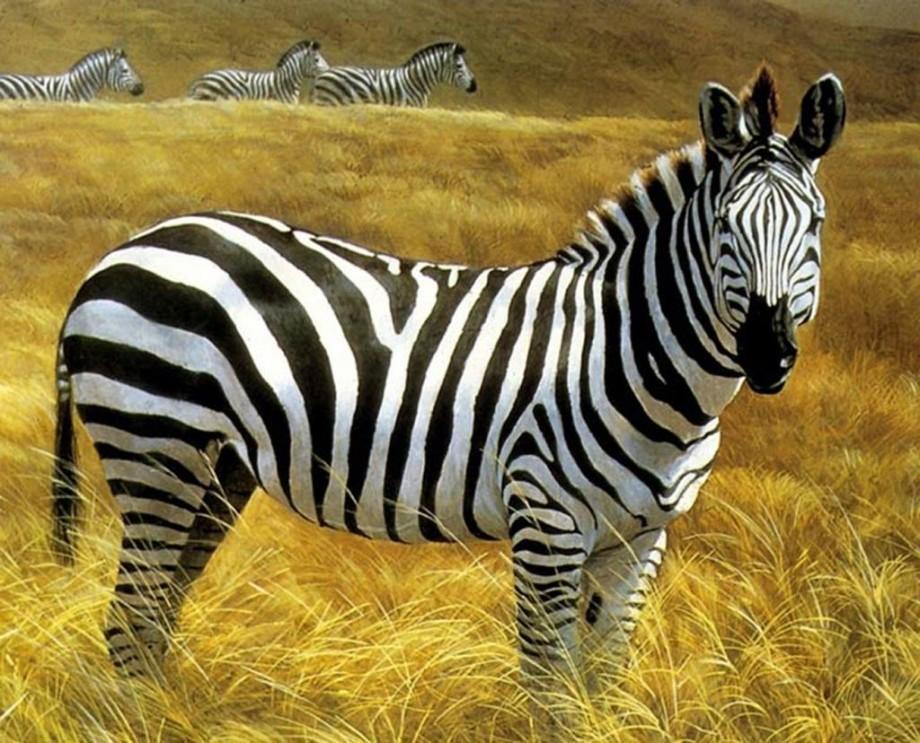Все о зебре